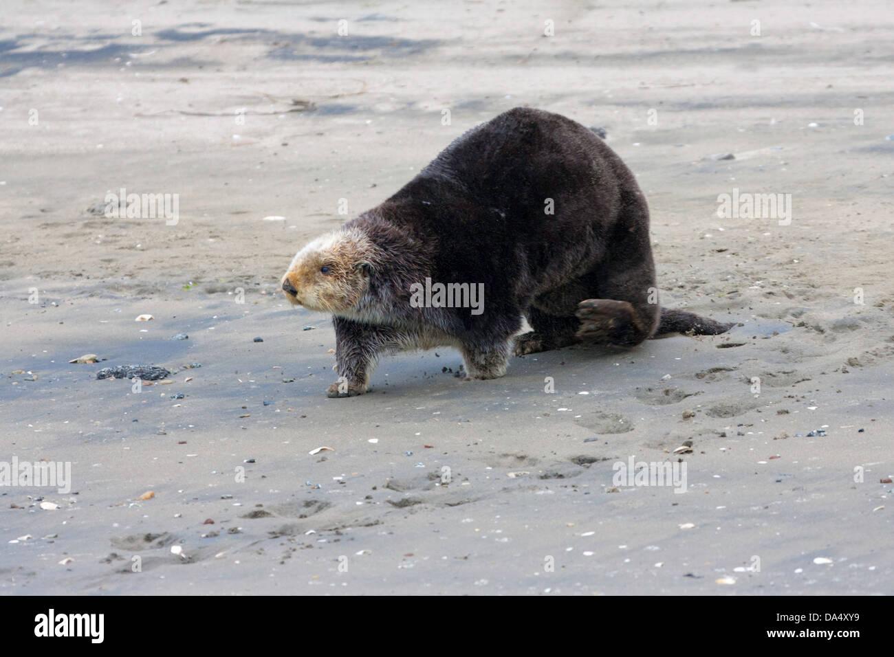 Sea Otter Enhydra lutris Monterey Bay, California, United States 24 June Adult on beach. Mustelidae - Stock Image