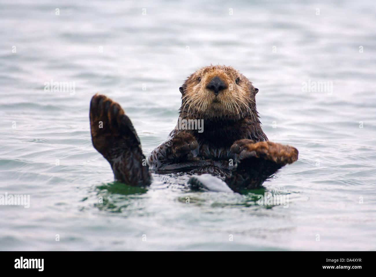 Sea Otter Enhydra lutris Monterey Bay, California, United States 24 June Adult Mustelidae - Stock Image