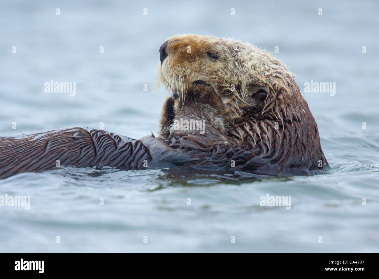 Sea Otter Enhydra lutris Moss Landing, California, United States 24 June Adult Mustelidae - Stock Image