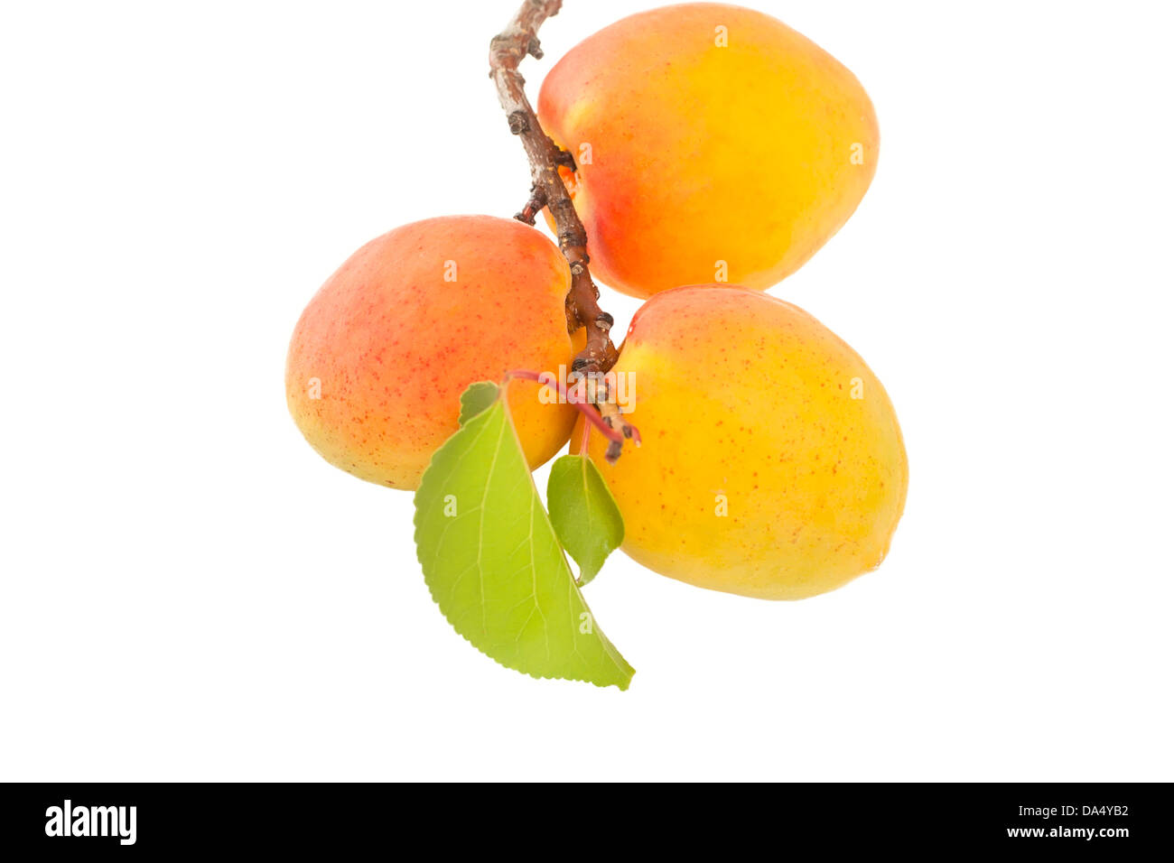 twig with apricots isolated on white background - Stock Image