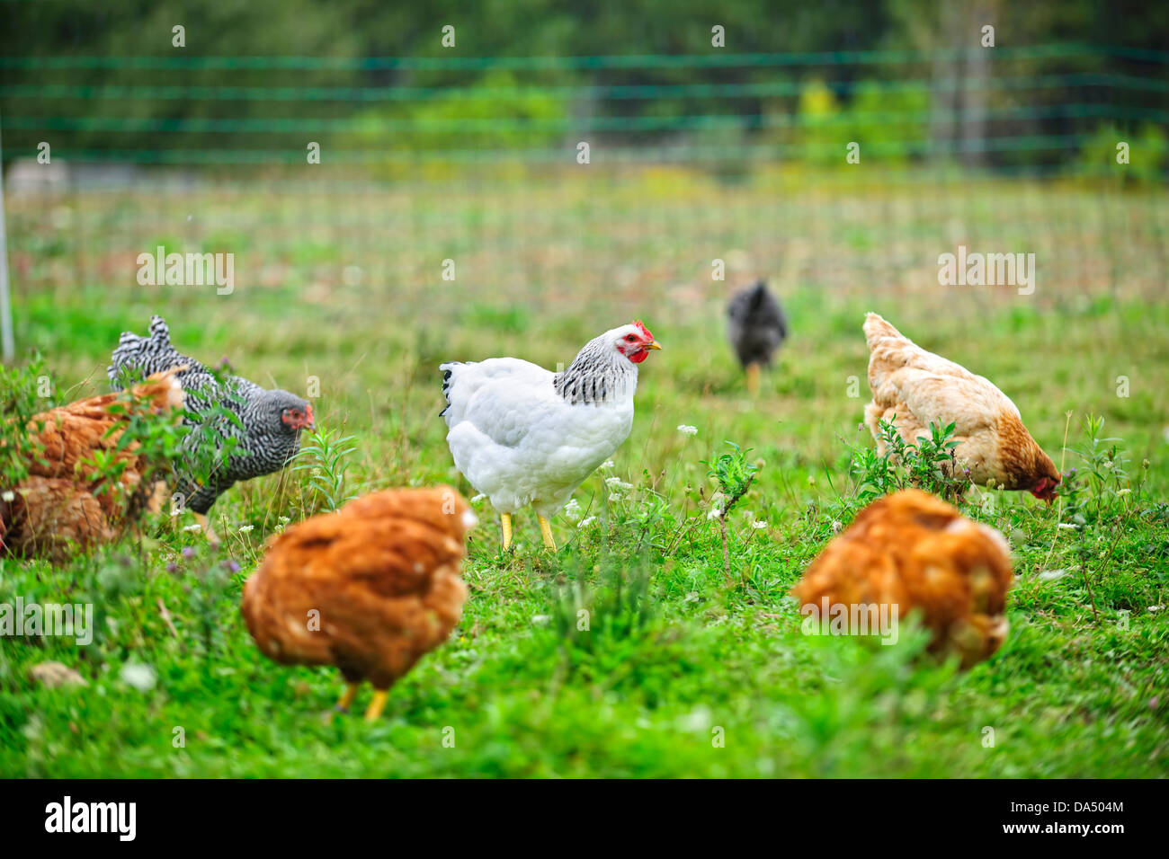 Various free range chickens feeding on grass at organic farm - Stock Image