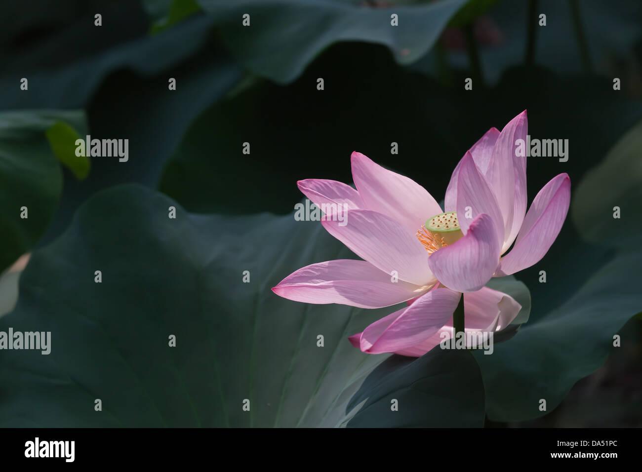 Lotus Flower Information Stock Photos Lotus Flower Information