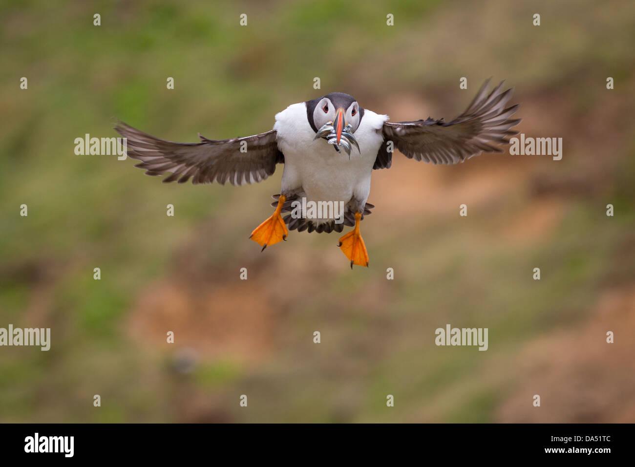 Puffin with sandeels in its beak, landing Stock Photo