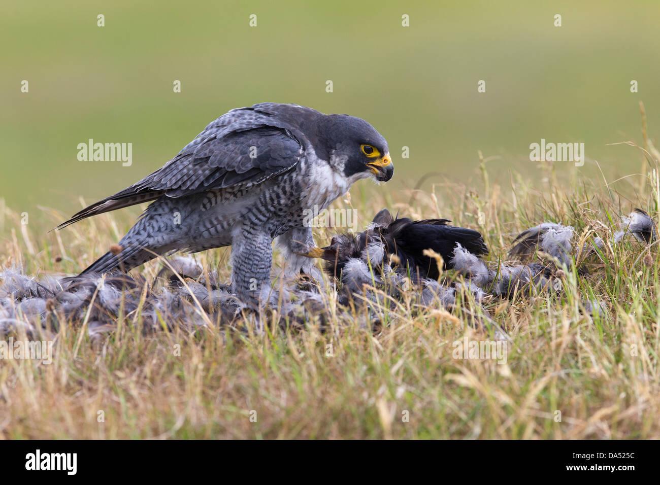 Peregrine Falcon with his prey - Stock Image
