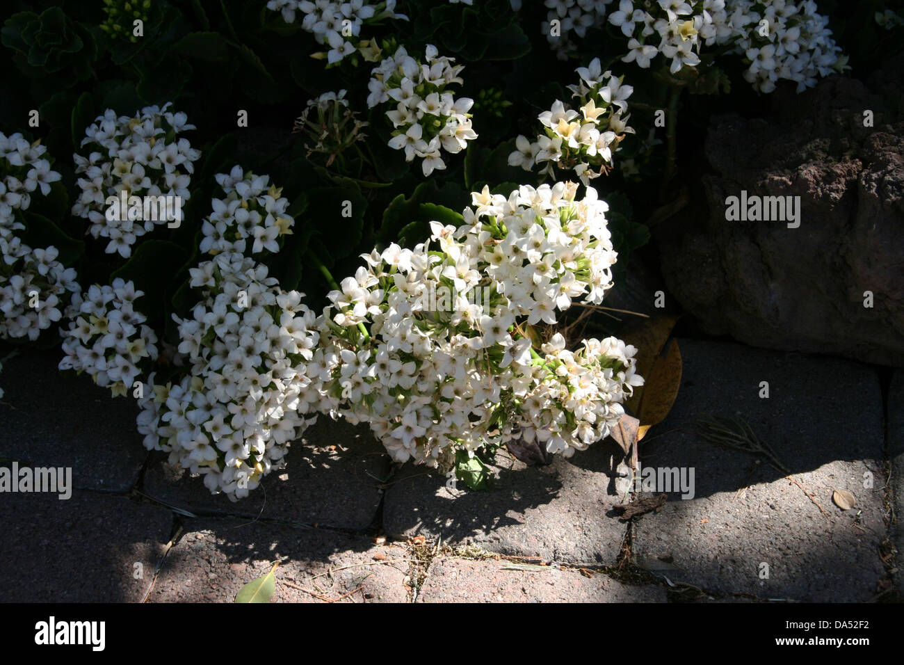 A cluster of small white flowers stock photo 57889414 alamy a cluster of small white flowers mightylinksfo
