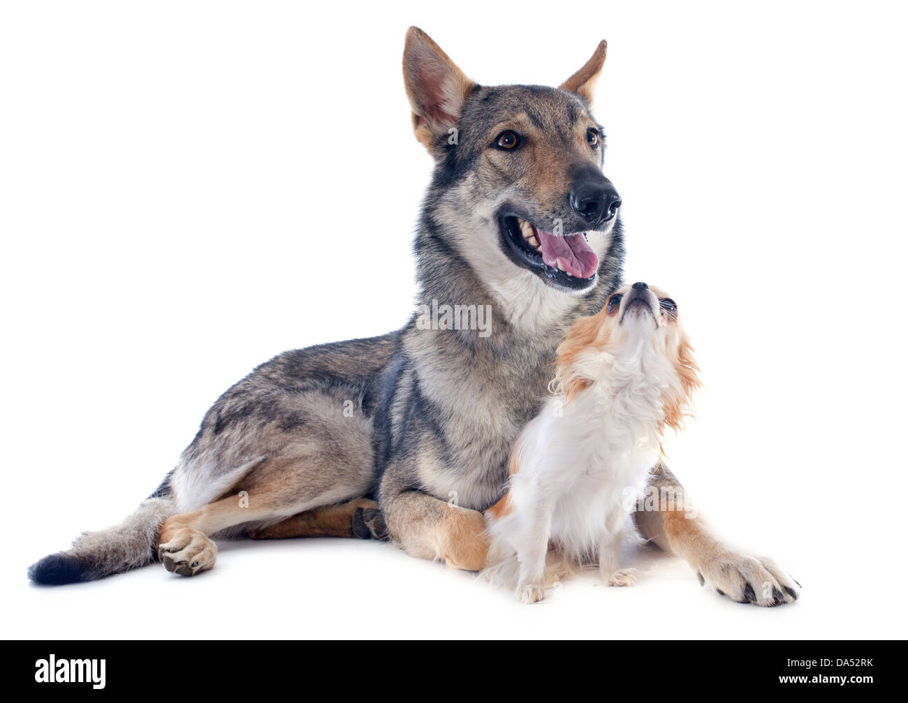 portrait of a purebred Czechoslovakian Wolfdog and chihuahua in studio - Stock Image