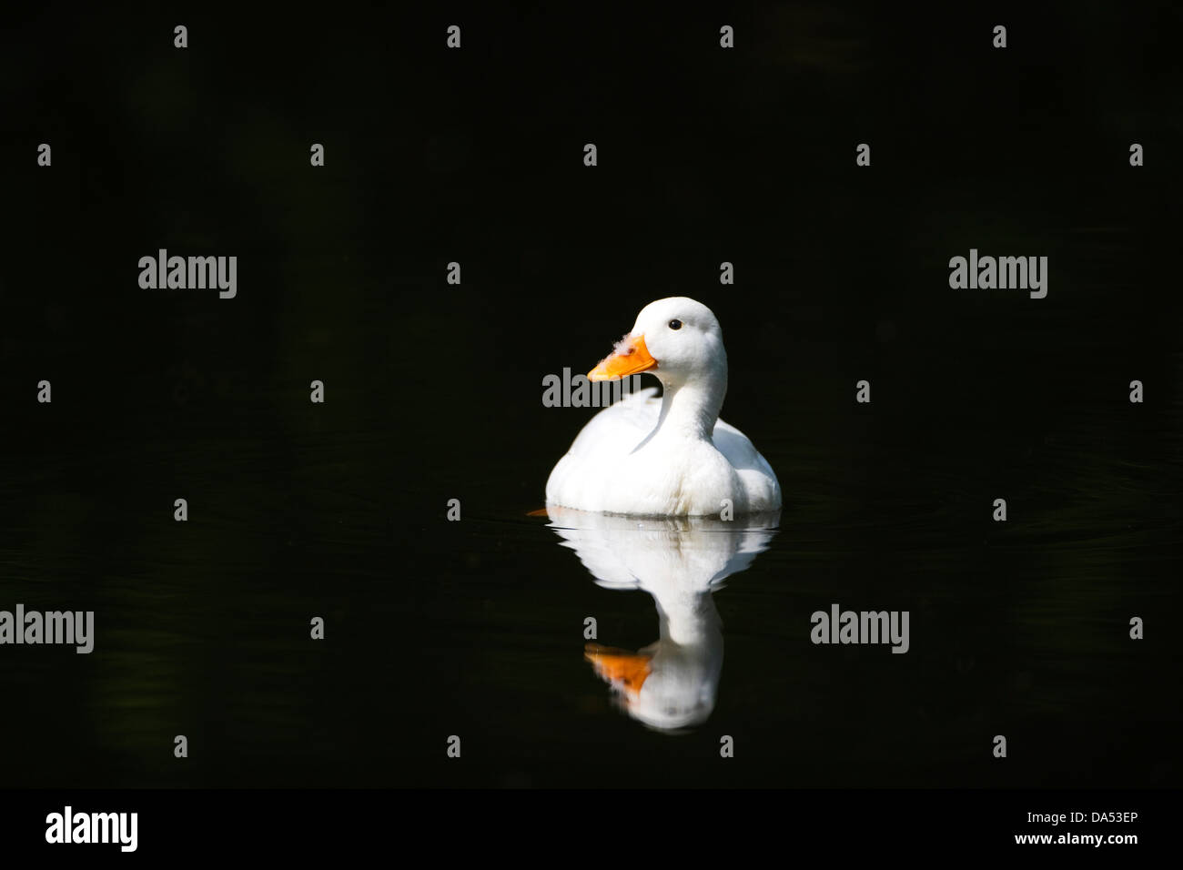 White Duck - Stock Image