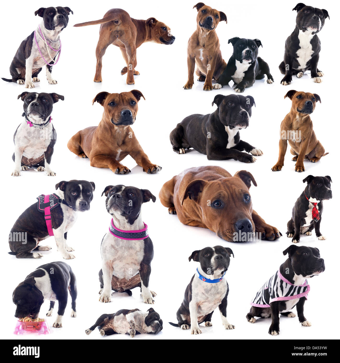group of a staffordshire bull terrier in front of white background - Stock Image