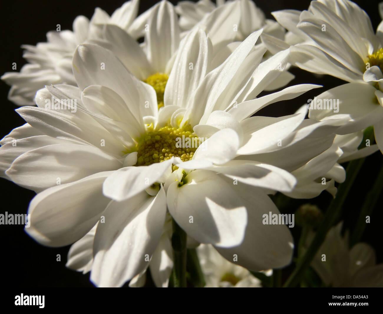 White chrysanthemum flowers stock photos white chrysanthemum white chrysanthemum flowers stock image mightylinksfo