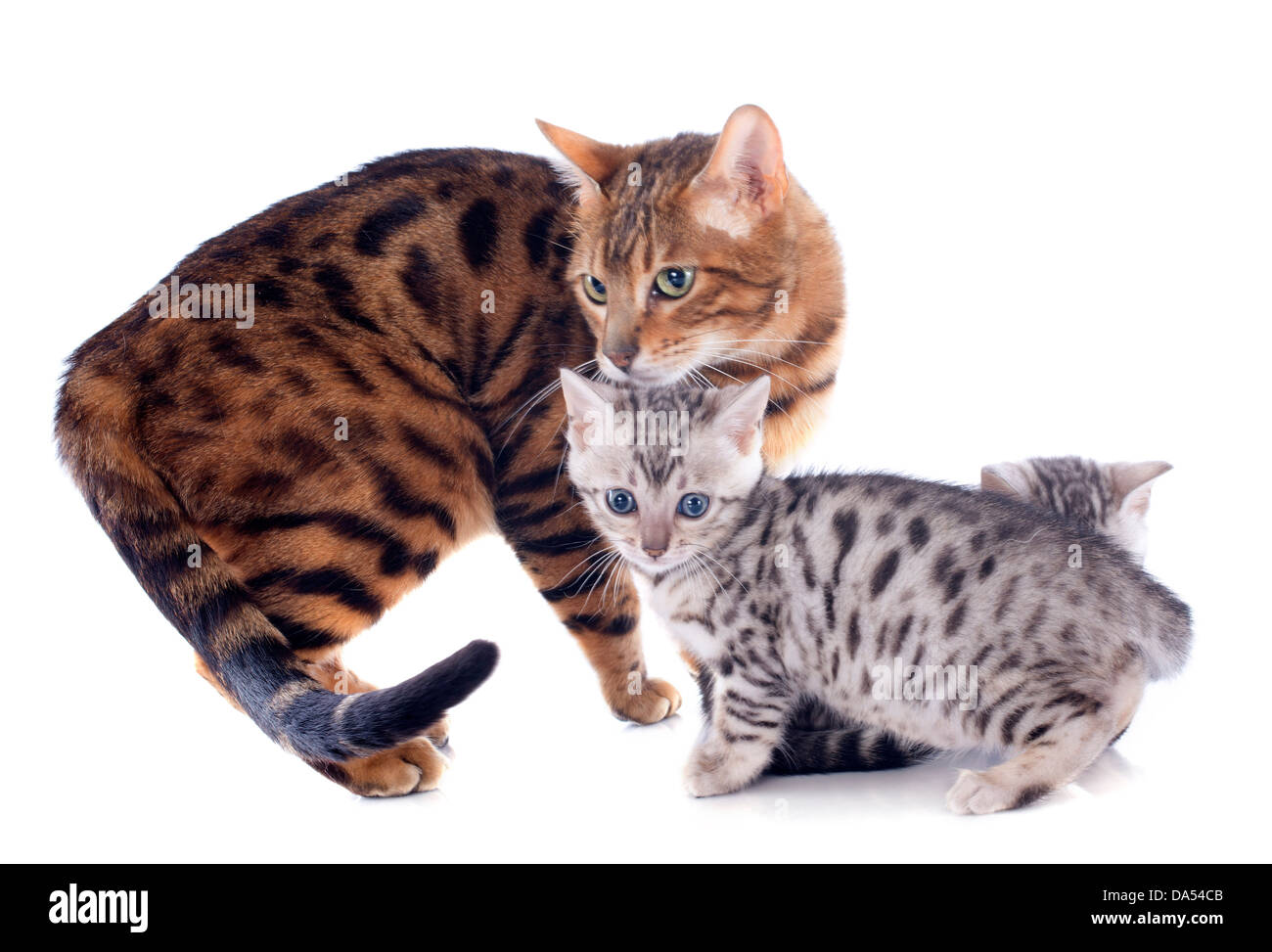 portrait of a purebred bengal family on a white background Stock Photo