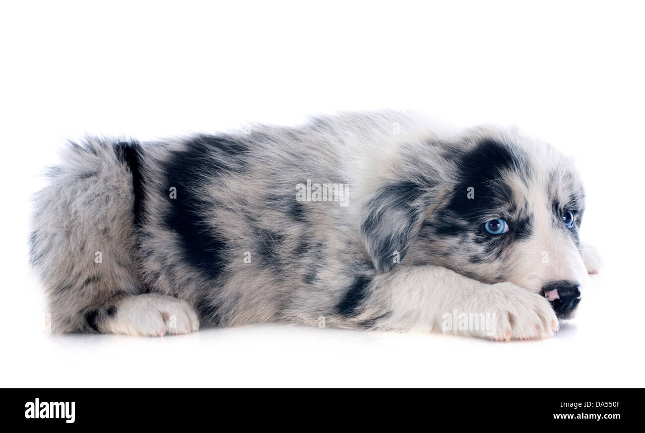 portrait of puppy border collie in front of white background Stock Photo