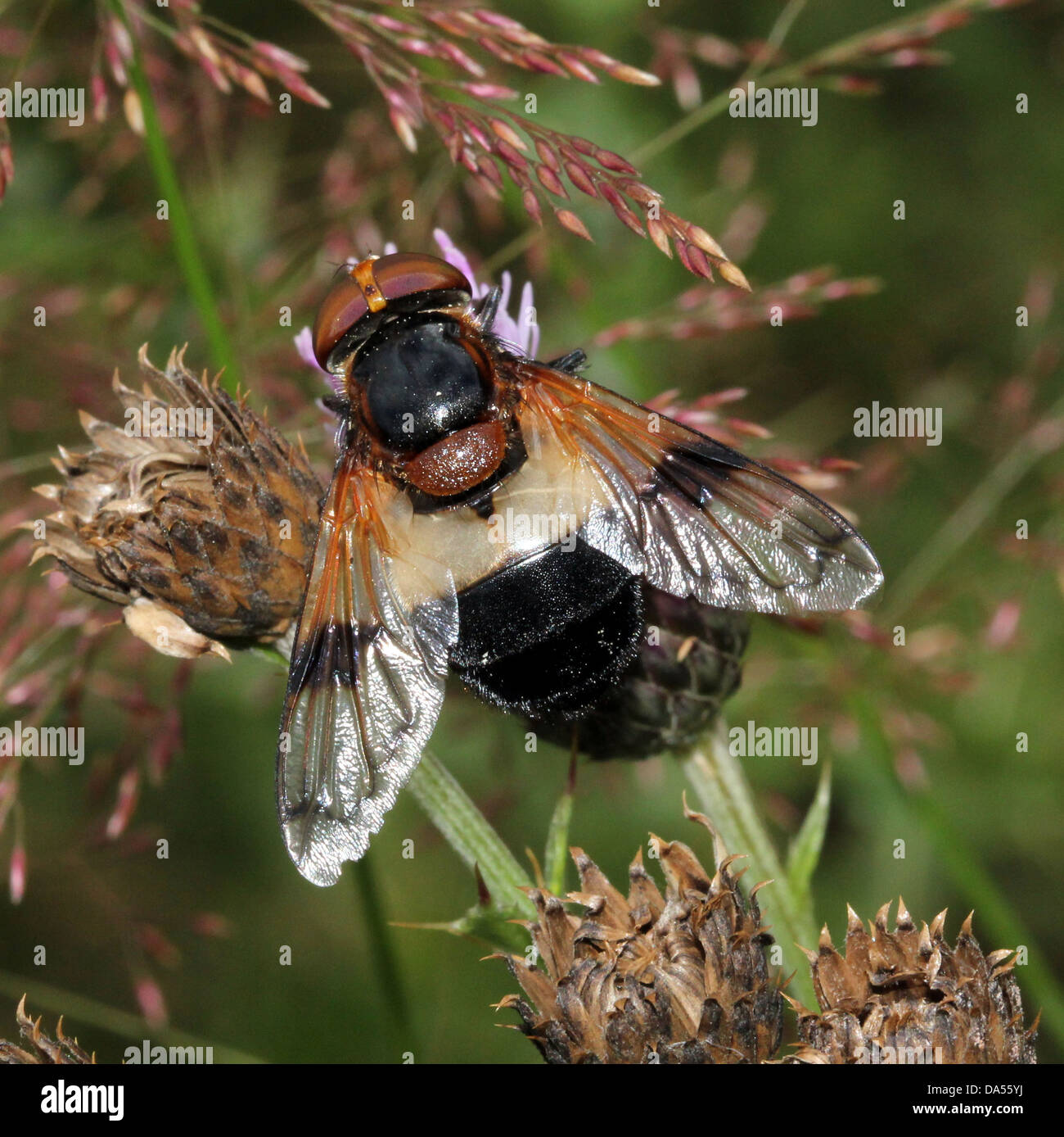 Detailed macro of  Volucella pellucens, a large European hoverfly variety posing on a leaf - Stock Image