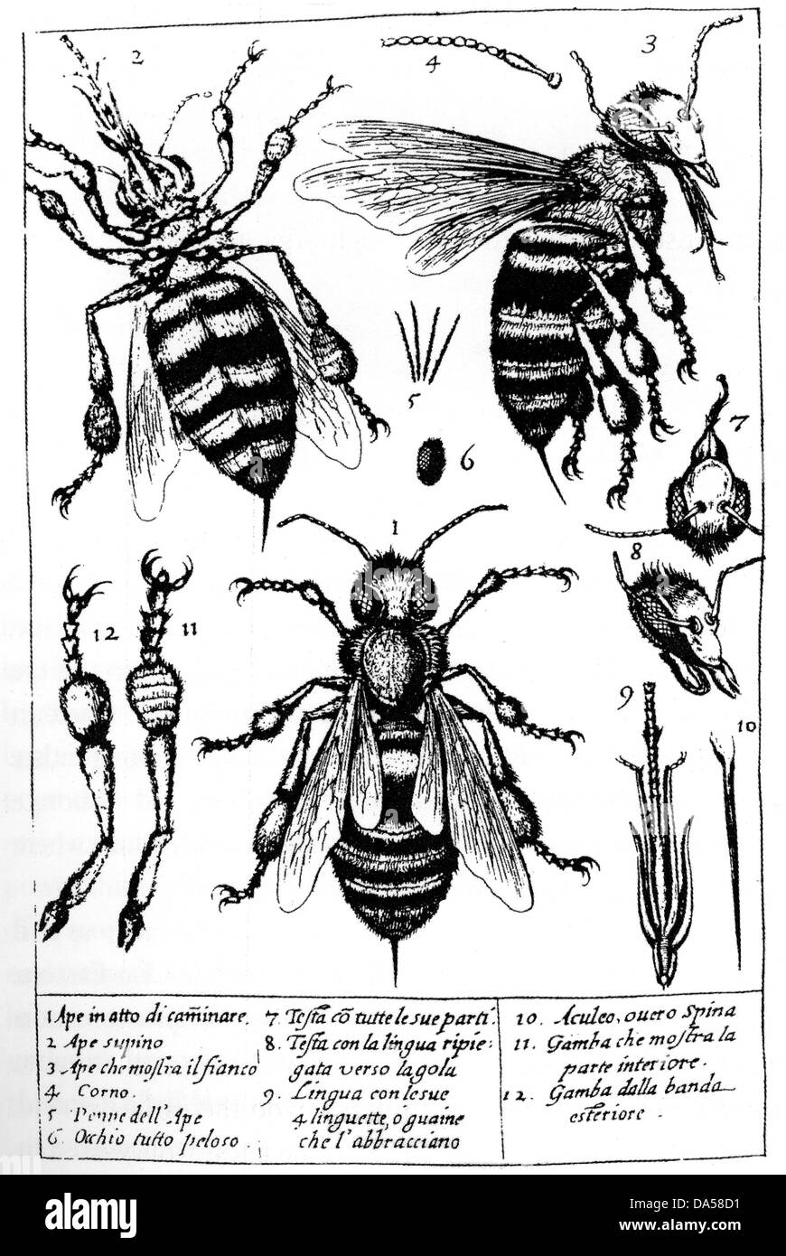 FRANCESCO STELLUTI (1577-1652) Italian polymath. Study of bees from his  Persio tradotto published in 1630