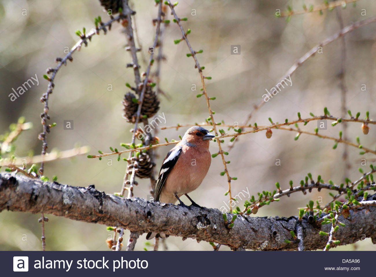 finch - Stock Image