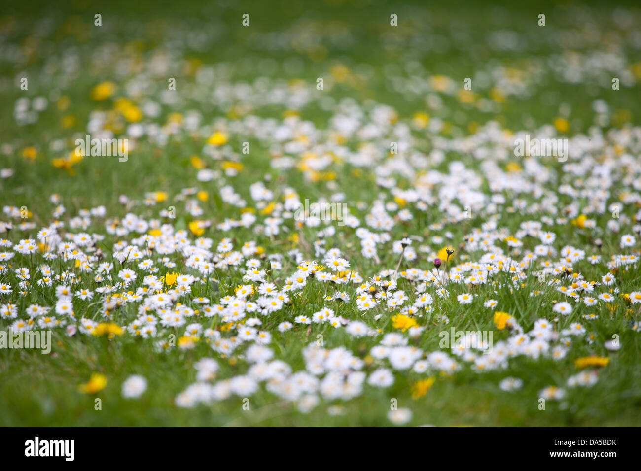 Common lawn Daises and buttercups on the Cambridge Backs - Stock Image
