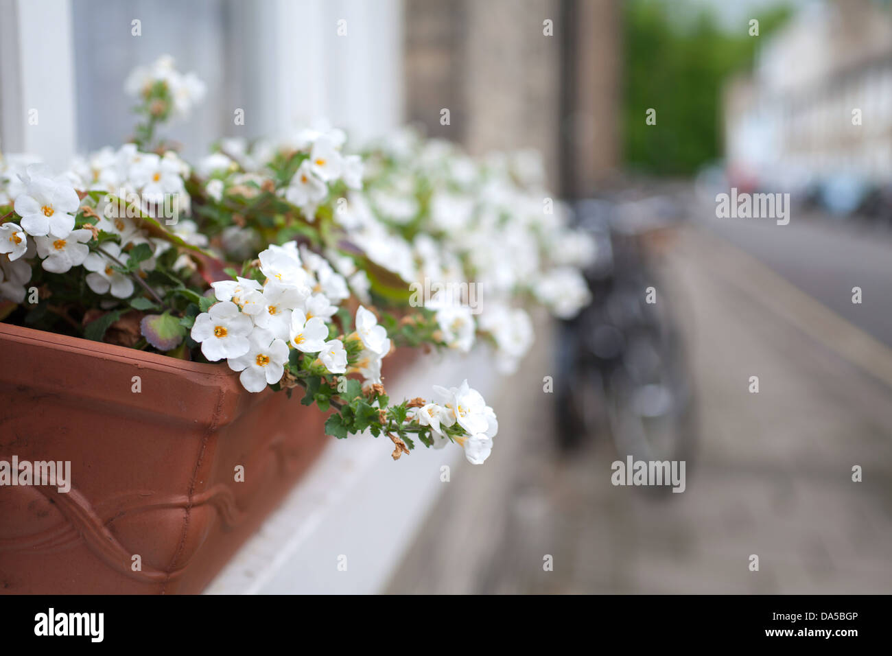 White flowers in window box on Victoria Street Cambridge - Stock Image