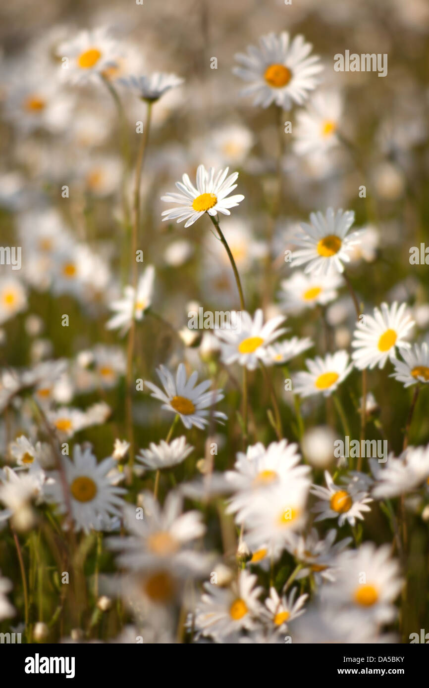 Carpet of Ox-eye daisies in the evening sun Stock Photo