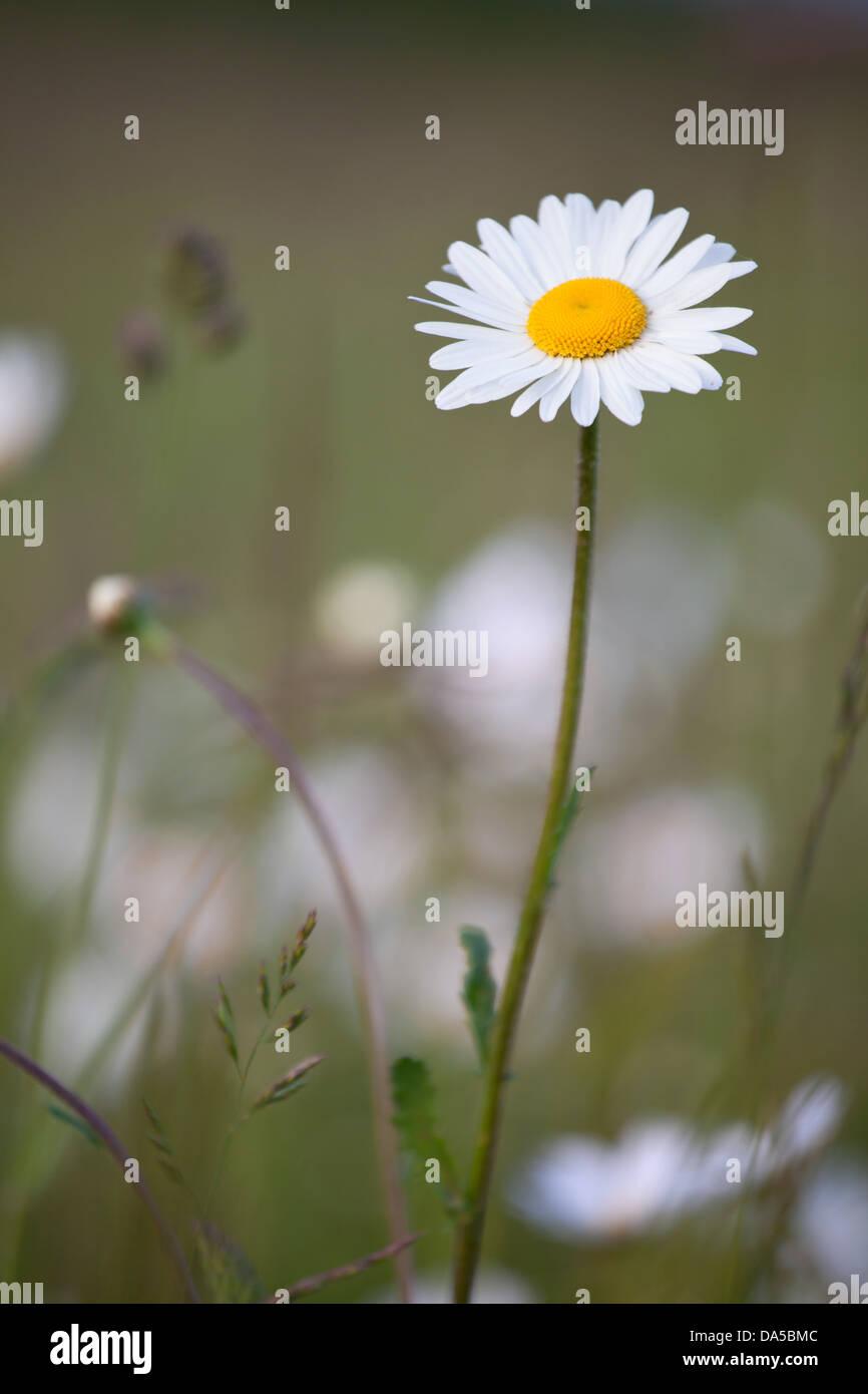 Daisy flower england stock photos daisy flower england stock one oxeye daisy flower leucanthemum vulgare stock image izmirmasajfo