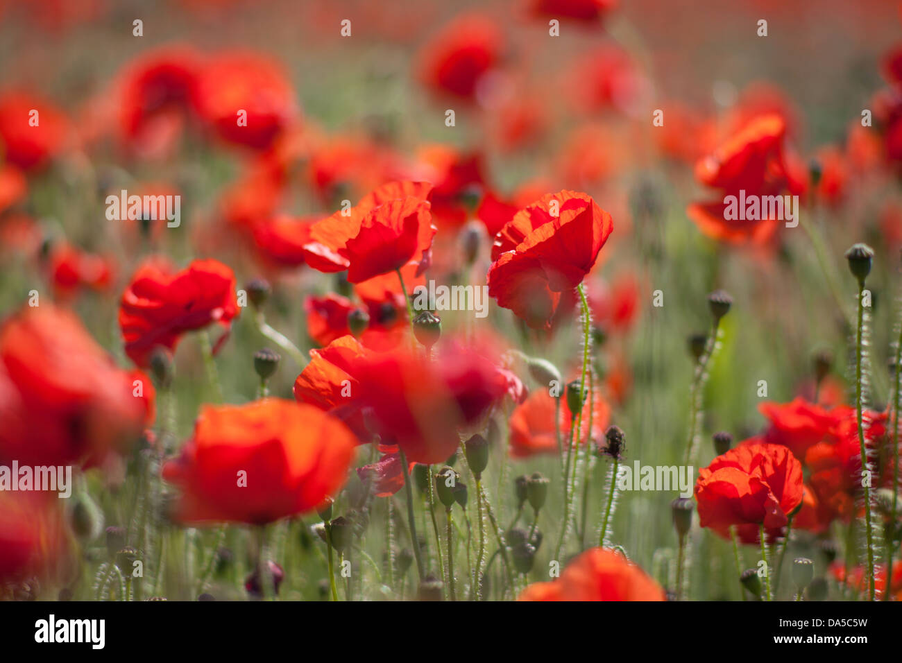 Close up of red poppy heads in a poppy field Harston, Cambridgeshire, UK - Stock Image