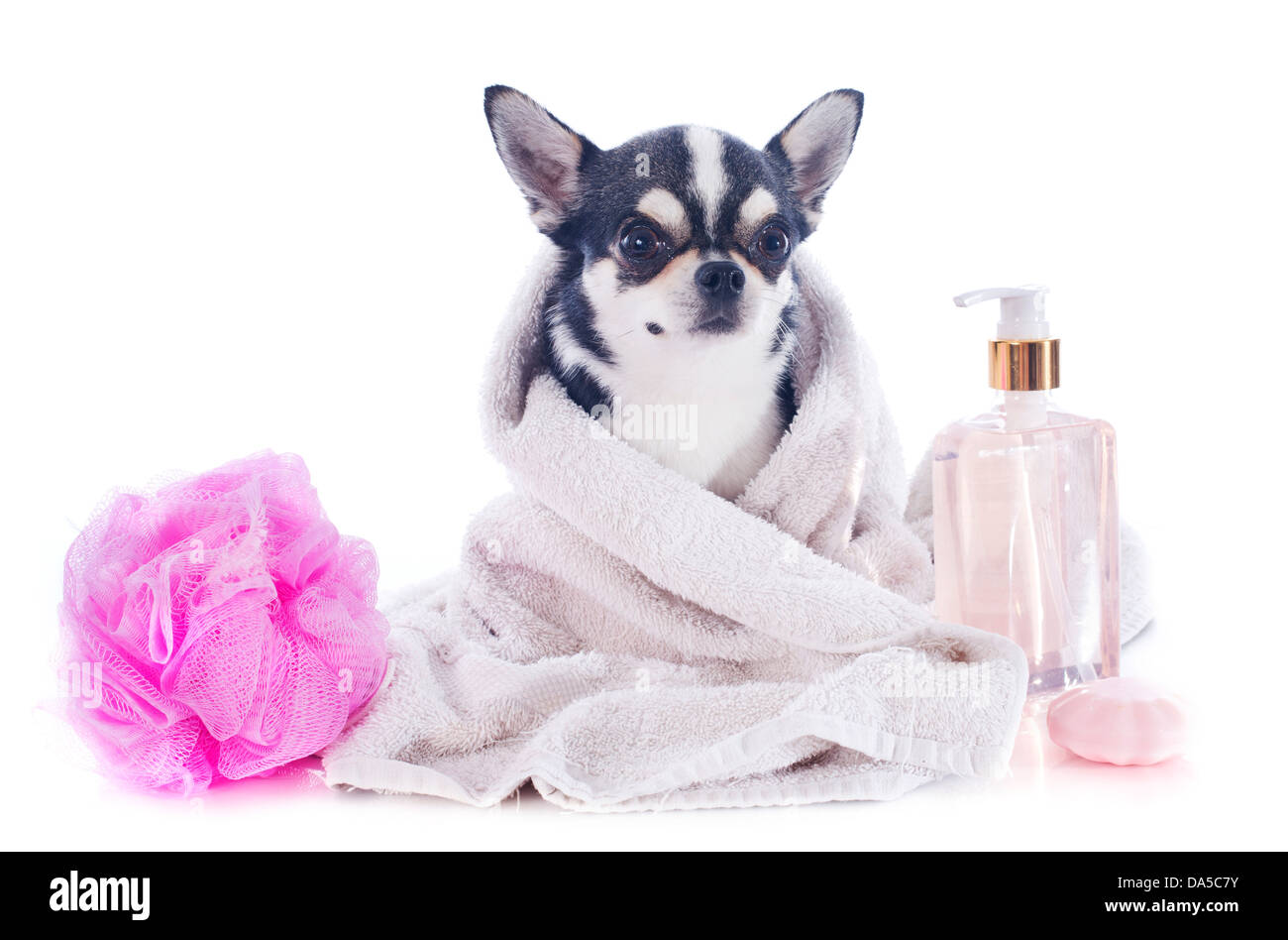 purebred chihuahua after the bath in front of white background - Stock Image