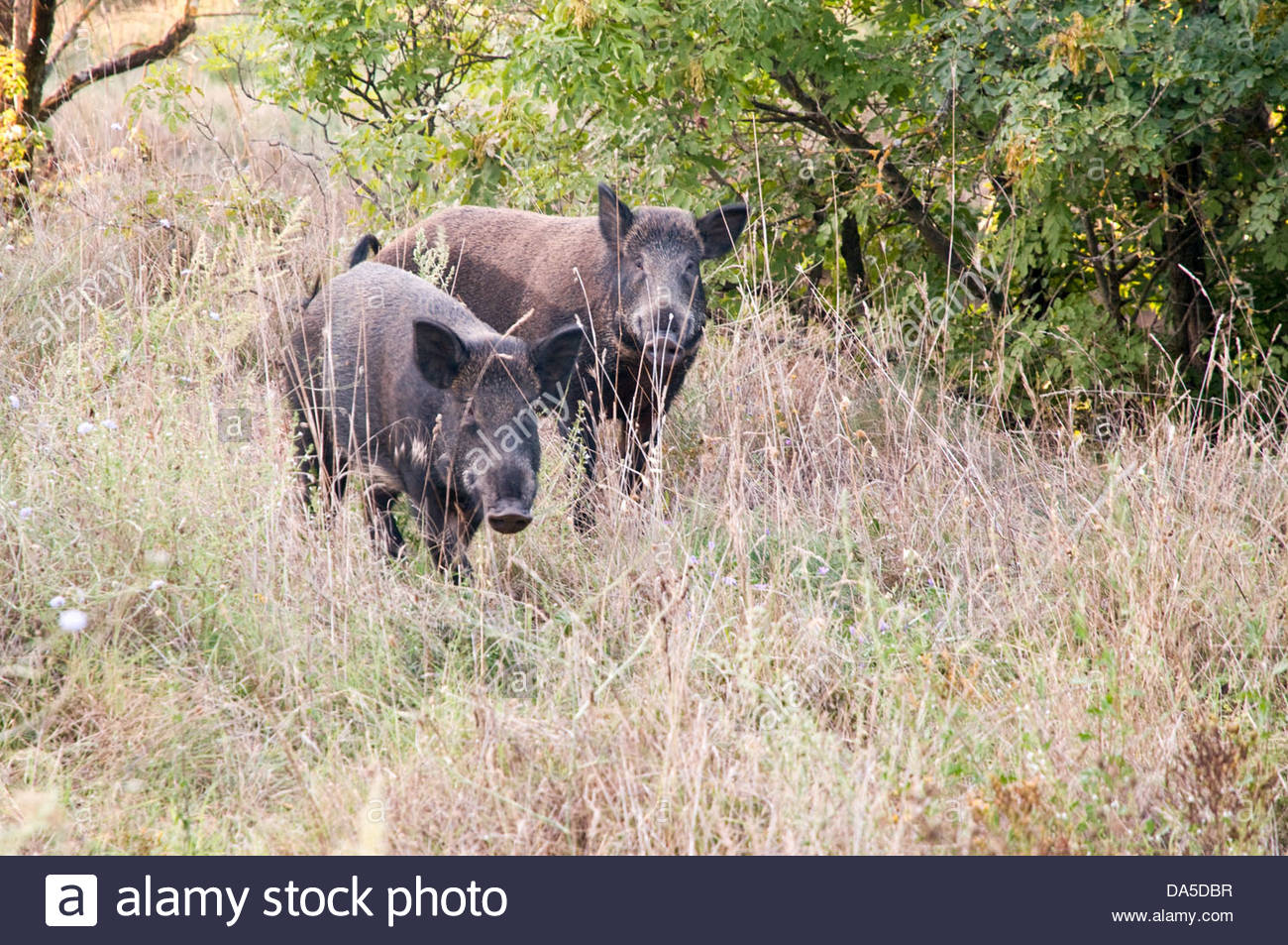 pair of wild boars - Stock Image