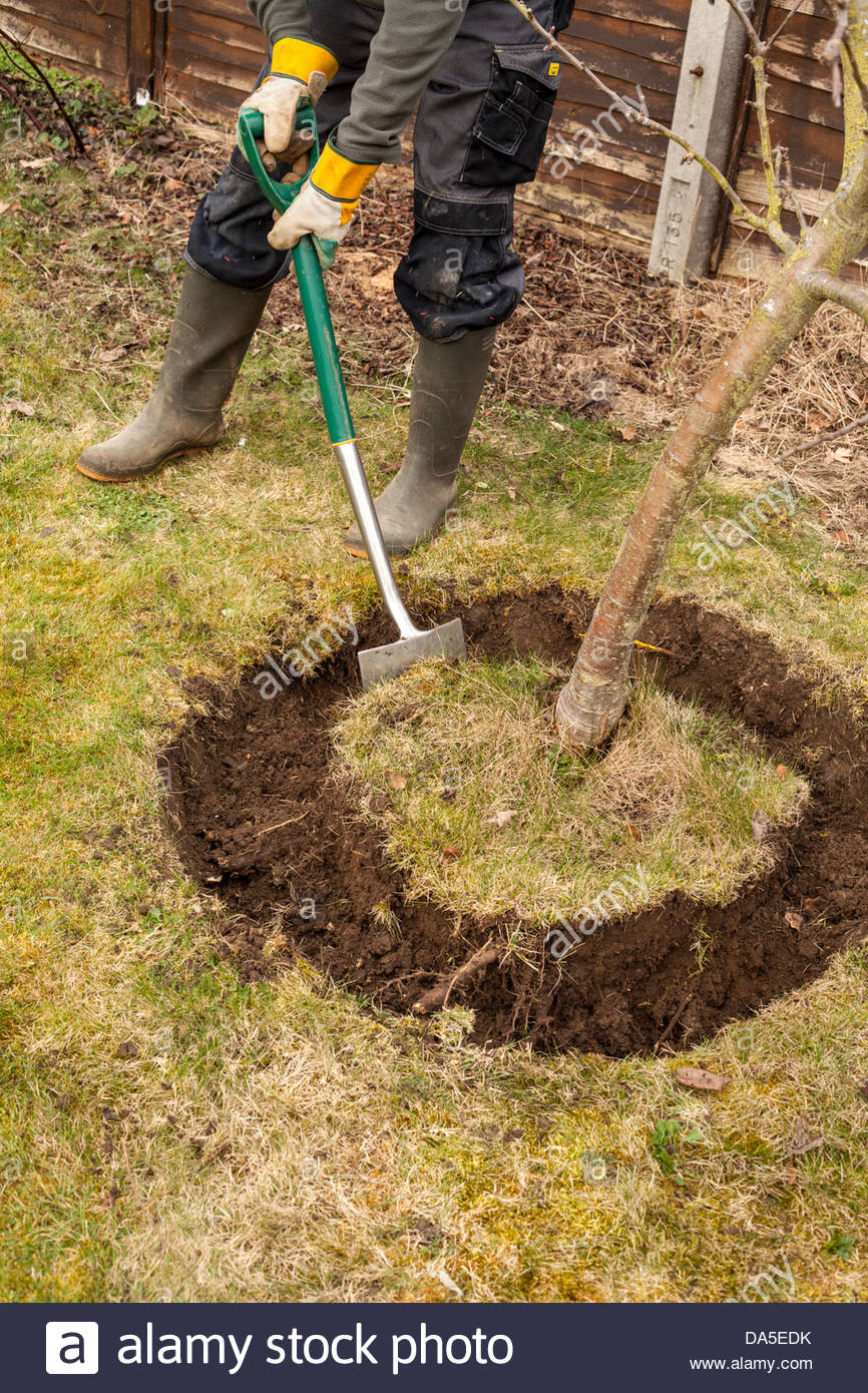 Digging a trench around an apple tree Stock Photo: 57898783