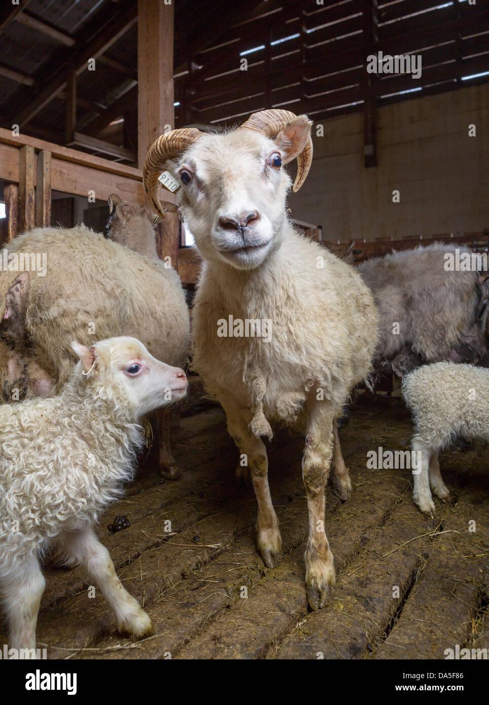 Ewe and lamb inside barn, Iceland - Stock Image