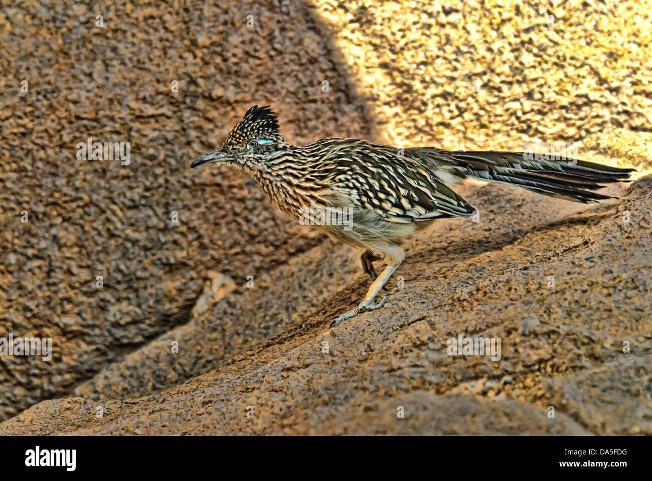 roadrunner, geococcyx califiornianus, bird, USA, United States, America, - Stock Image