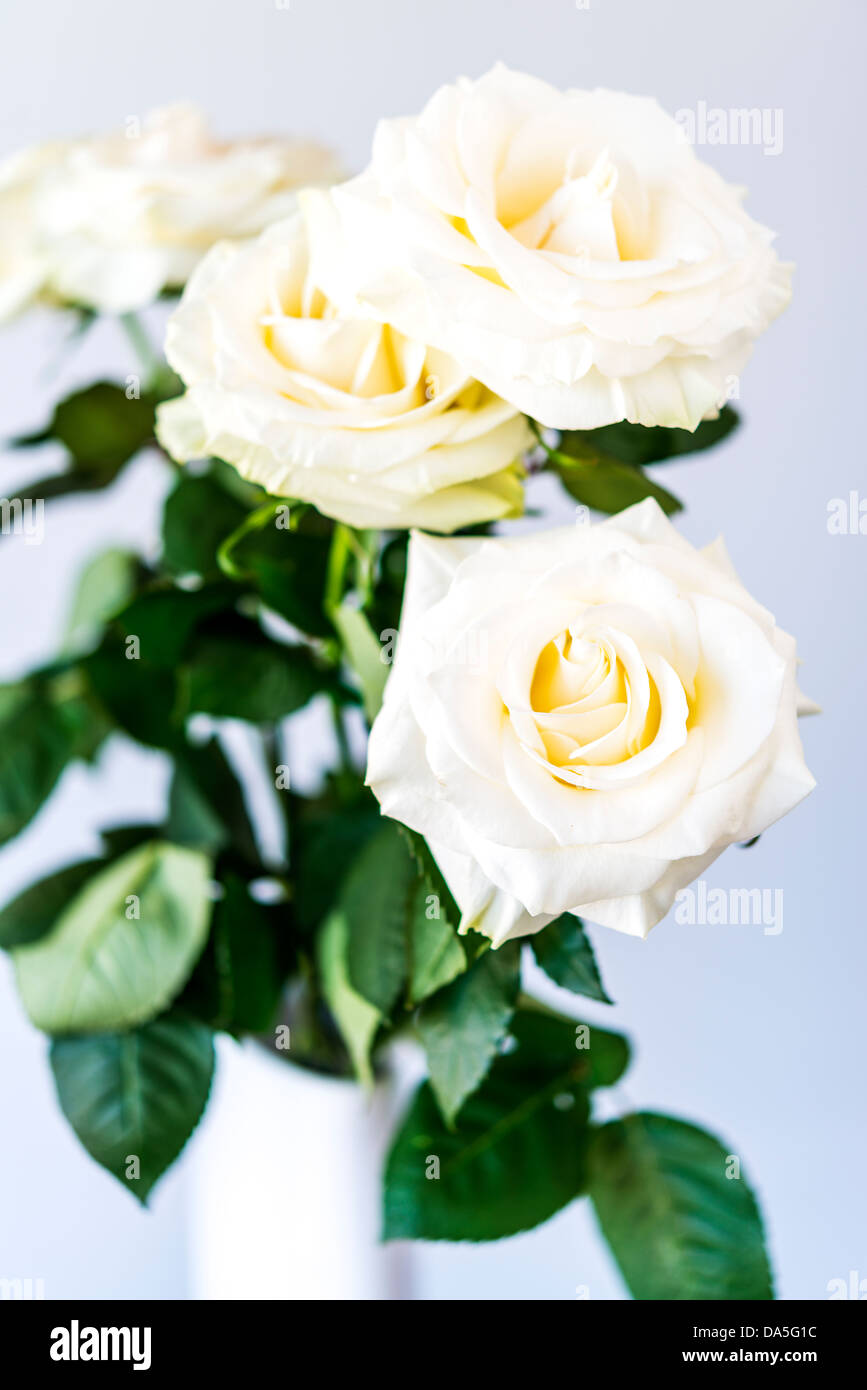 bouquet of beautiful and tenderly white roses - Stock Image