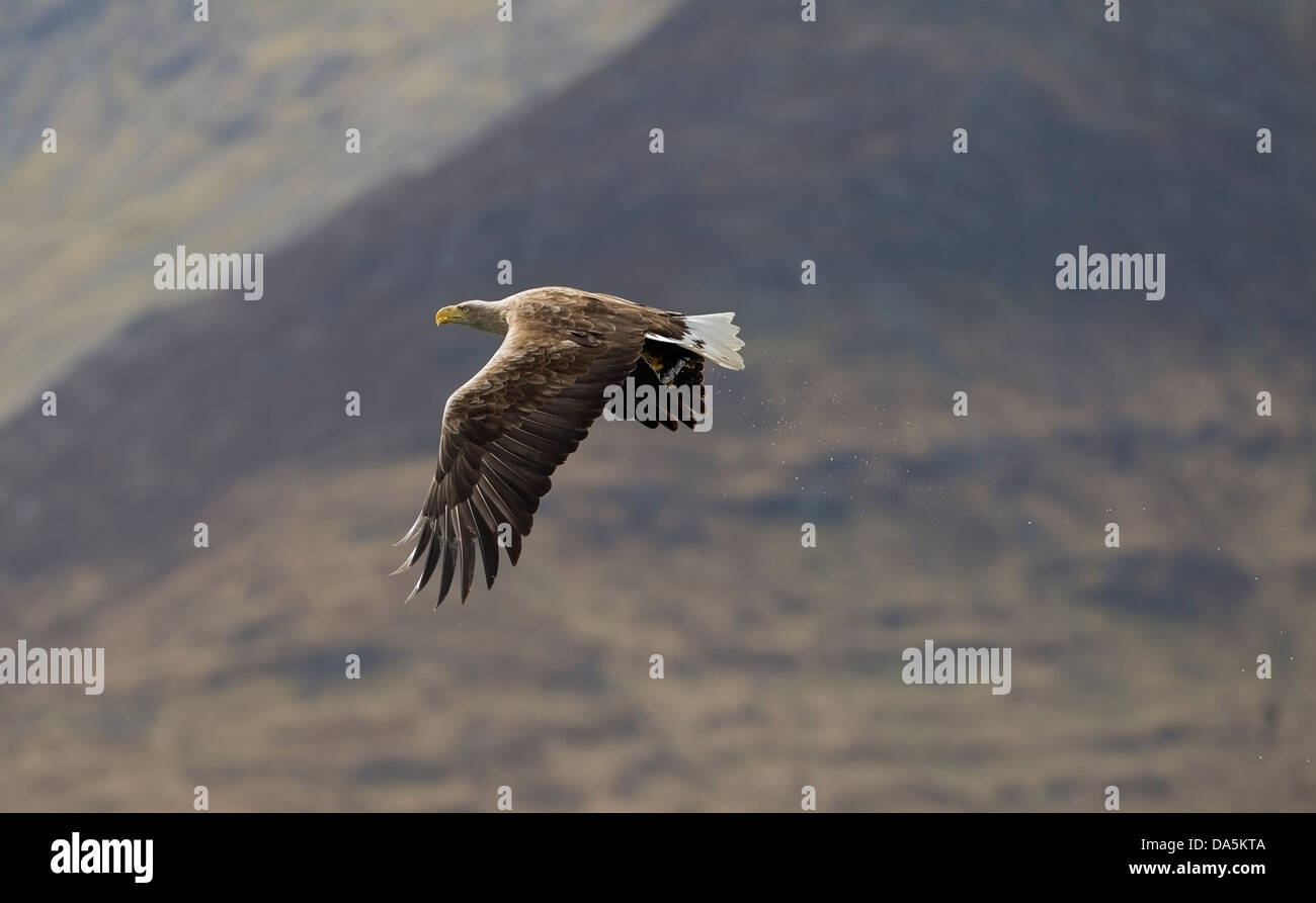 White Tailed Sea Eagle(Haliaeetus albicilla) Isle of Mull flying back towards eyrie with captured fish Stock Photo