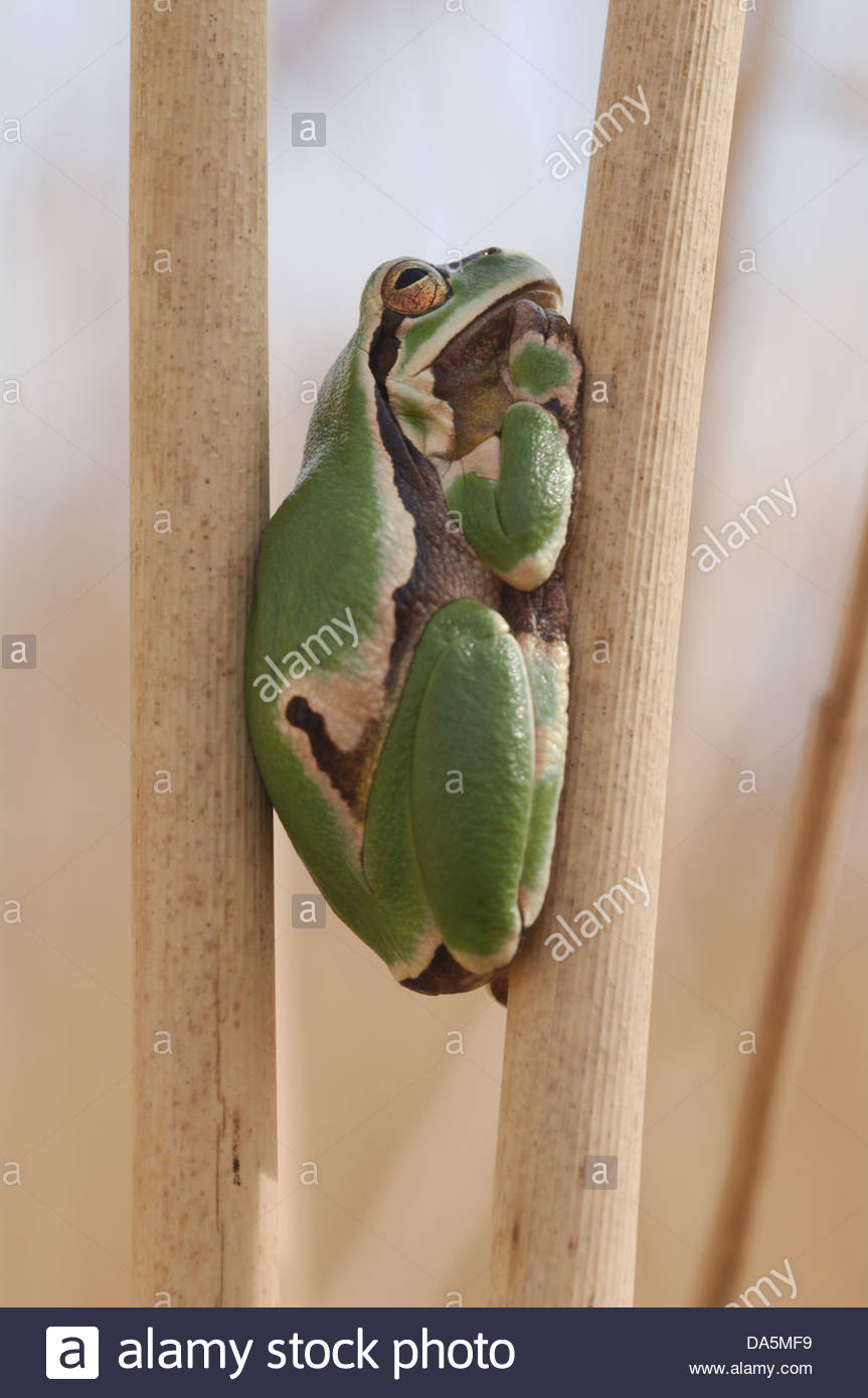 Austria, Europe, Burgenland, amphibian, Hylianea, European tree frog, tree frog, frog, Hyla arborea, reed Stock Photo