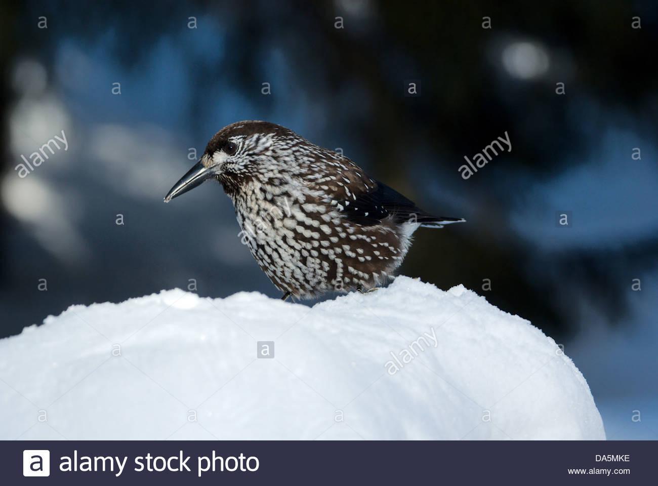 Switzerland, Europe, Arosa, bird, birds songbird, nutcracker, forest, snow - Stock Image
