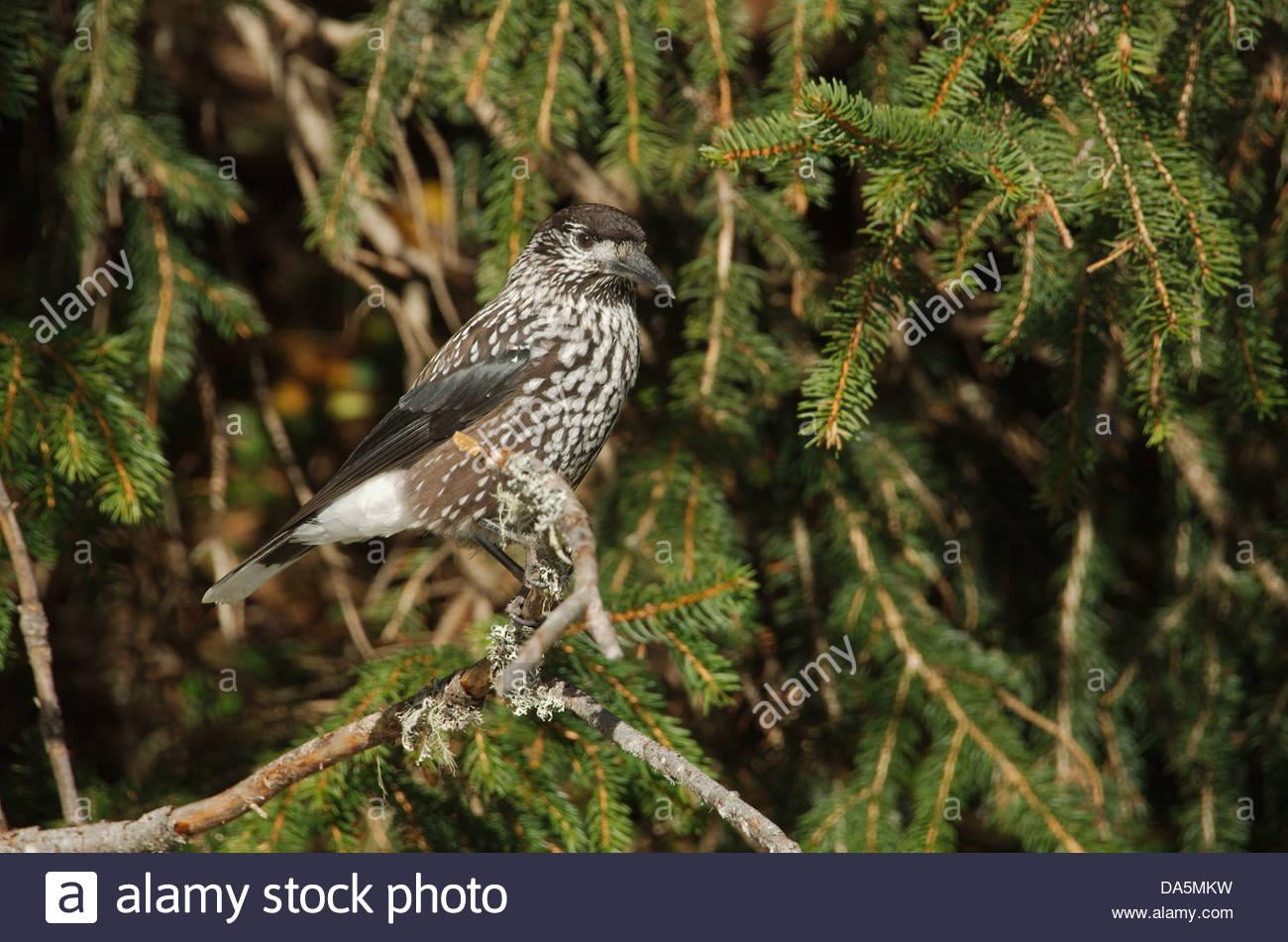 Switzerland, Europe, Arosa, bird, birds songbird, nutcracker, forest, fir - Stock Image