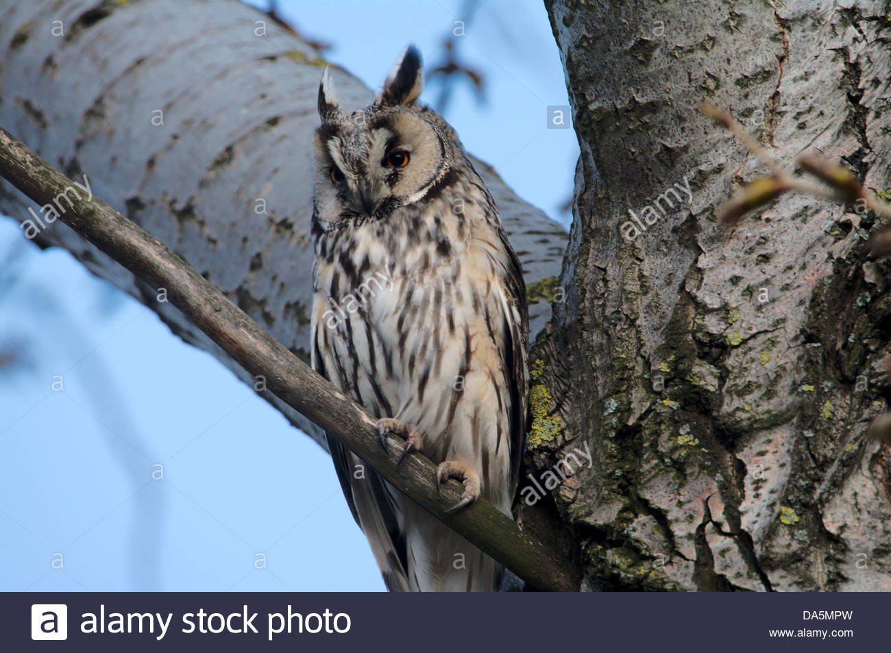 Austria, Europe, Burgenland, bird, birds songbird, owl, long-eared owl, forest, young birds, tree - Stock Image