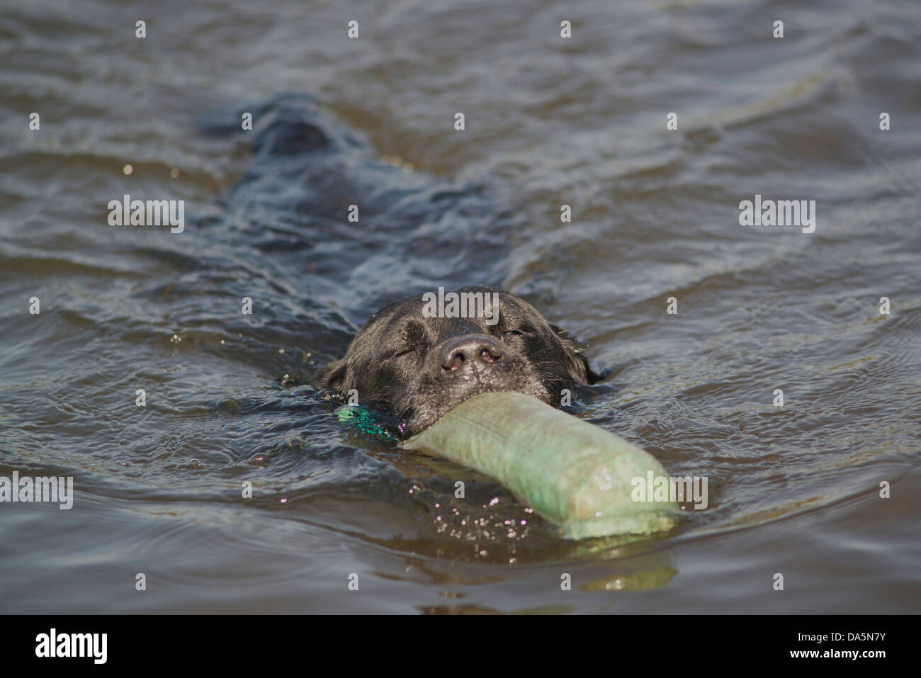 labrador retrieves floating dummy from pond - Stock Image