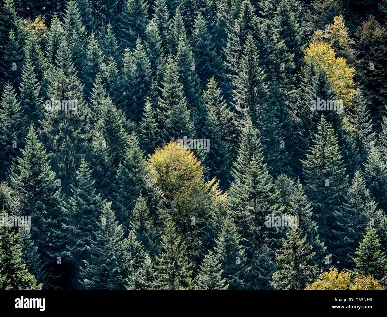 To book, beech, Emmental, spruce forest, Yellow, autumn, canton Bern, Bern, Langnau, Lüderenalp, Switzerland, - Stock Image