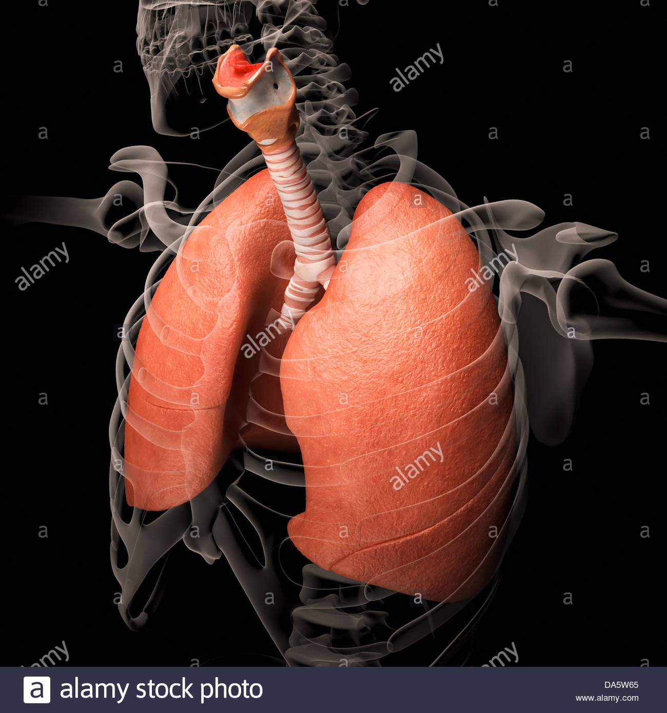 Digital medical illustration depicting the human respiratory system. Transparent skeleton reveals the respiratory - Stock Image