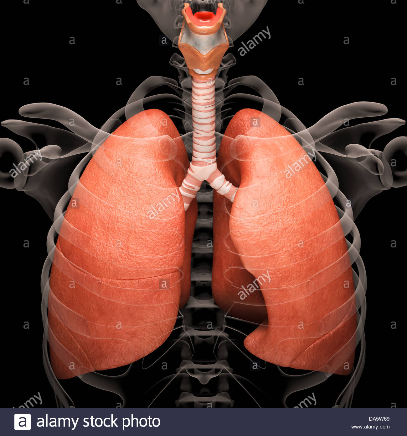 Digital medical illustration depicting the human respiratory system. Transparent skeleton reveals the respiratory Stock Photo