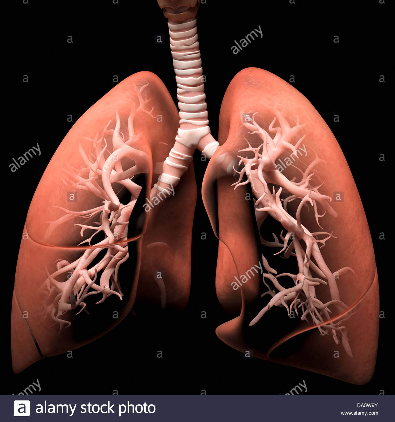 Digital medical illustration depicting the human respiratory system. Transparent lungs reveal the trachea and bronchi. - Stock Image