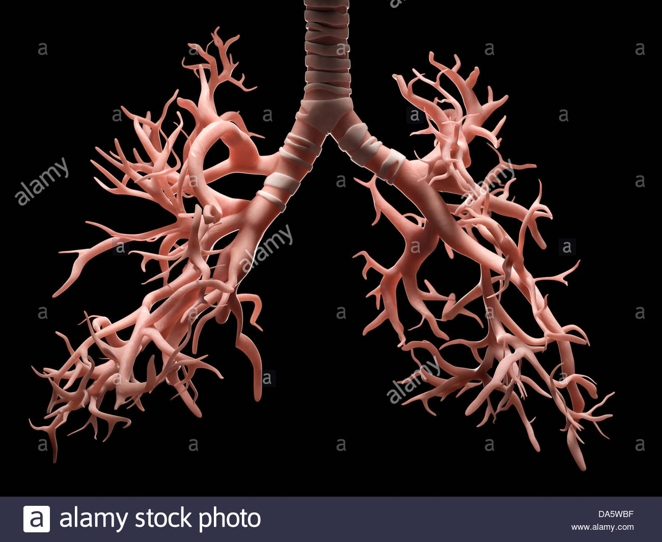 Digital medical illustration depicting the bronchi and trachea of the human respiratory system. - Stock Image