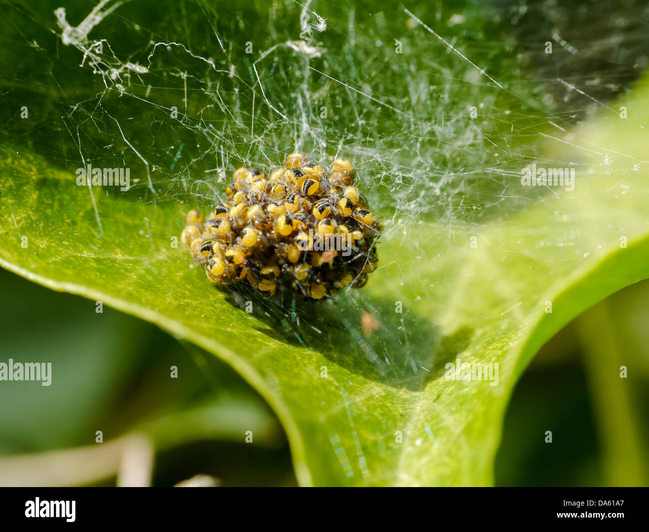 A nest of baby garden spiderlings on a leaf - Stock Image