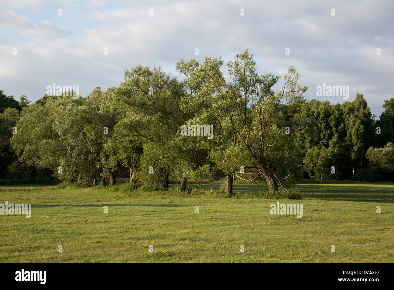 Willow trees in Poland, Masovia, Europe, Mazowsze, polish, masovian landscape Stock Photo
