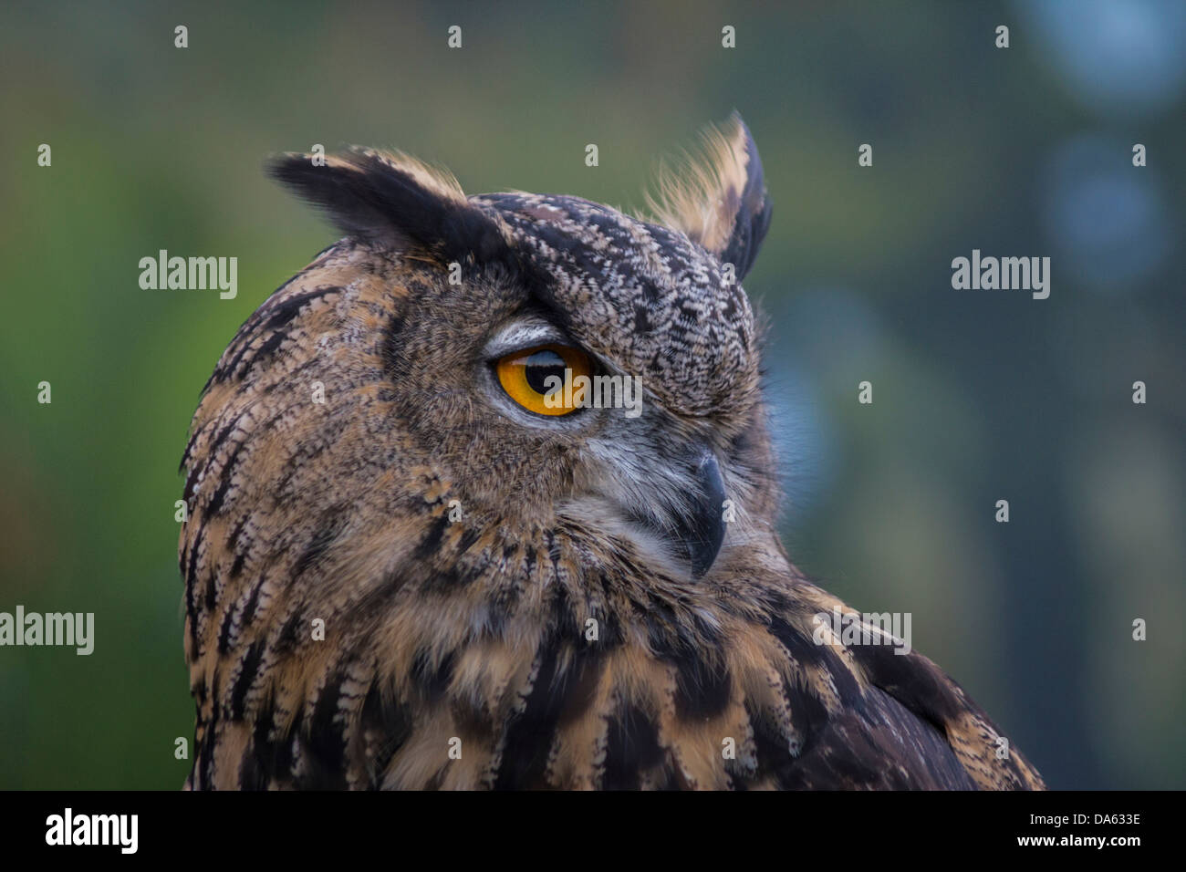 birds of prey, bird, Blackland Prairie Raptor Center, Bubo virginianus, Great Horned Owl, owl, Hunter, Strigidae, - Stock Image