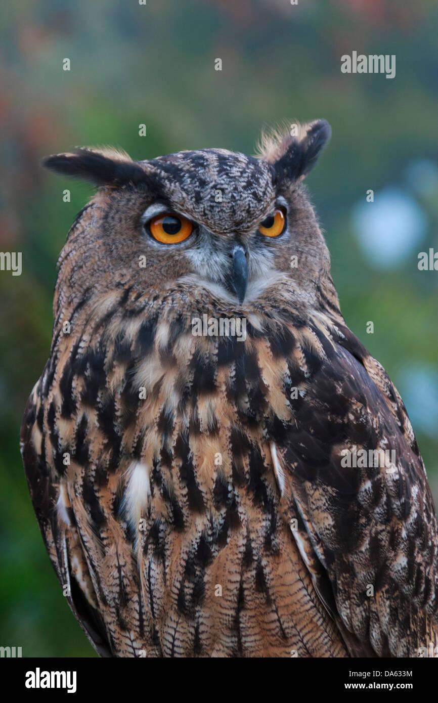 birds of prey, bird, Blackland Prairie Raptor Center, Bubo virginianus, Great Horned Owl, owl, Hunter, Strigidae, - Stock Image