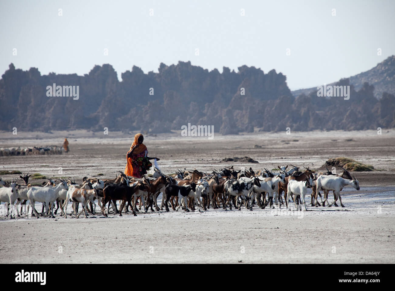 herd of goats, goats, nanny goats, Abbesee, Djibouti, Africa, scenery, landscape, nature, lake, lakes, agriculture, - Stock Image
