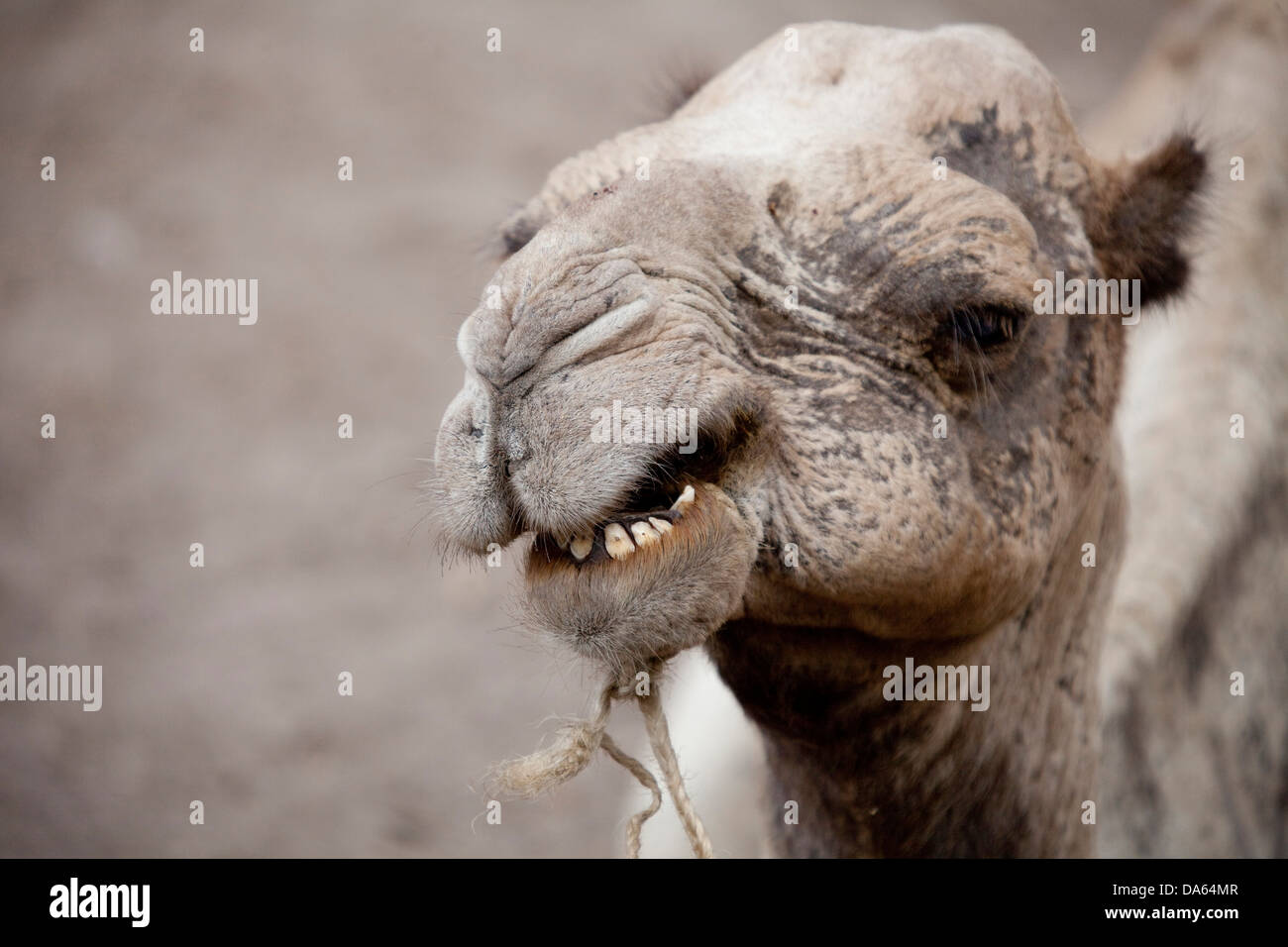 Camel, Gemeri, Africa, animals, animal, Ethiopia, - Stock Image