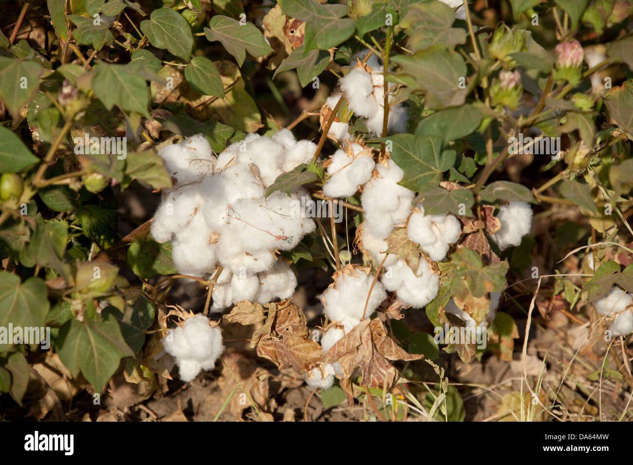 Cotton, harvest, crop, Africa, agriculture, Ethiopia, - Stock Image