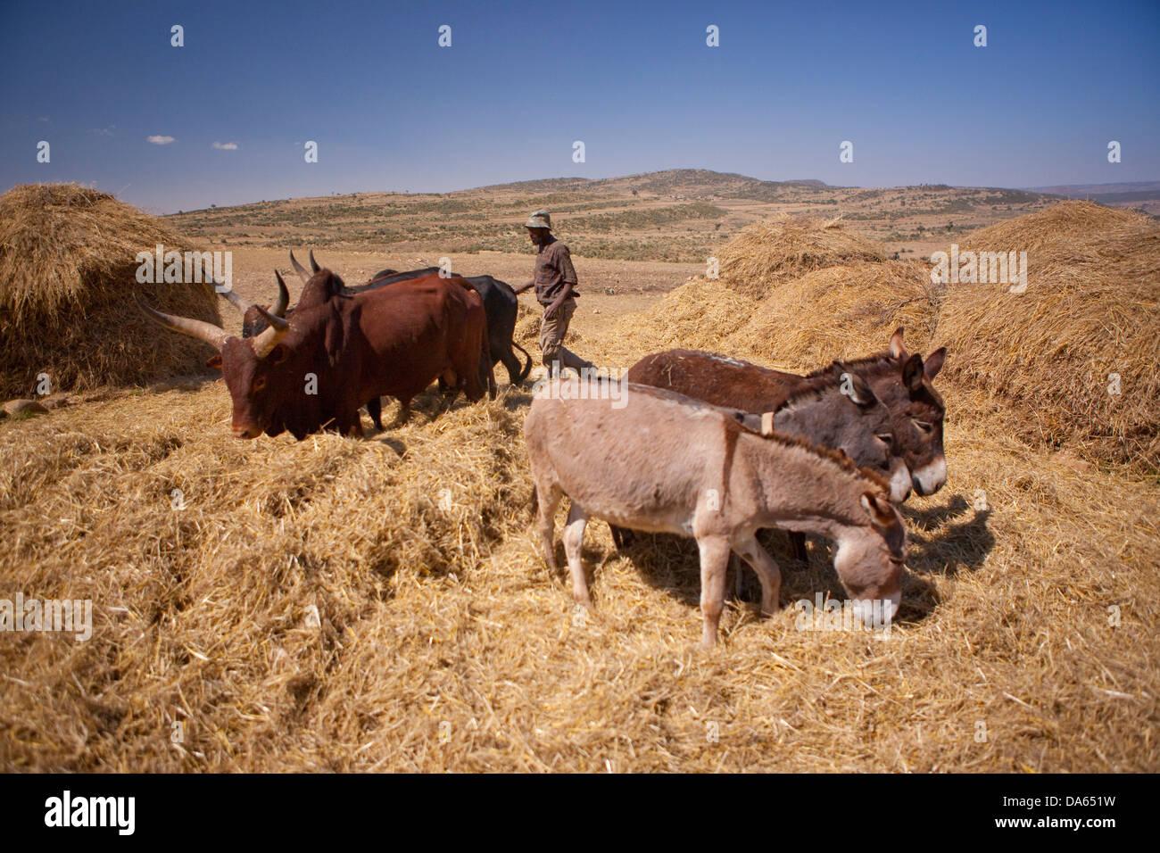 Grain harvest, harvest, crop, Abyssinia highlands, highland, Africa, scenery, landscape, agriculture, Ethiopia, - Stock Image
