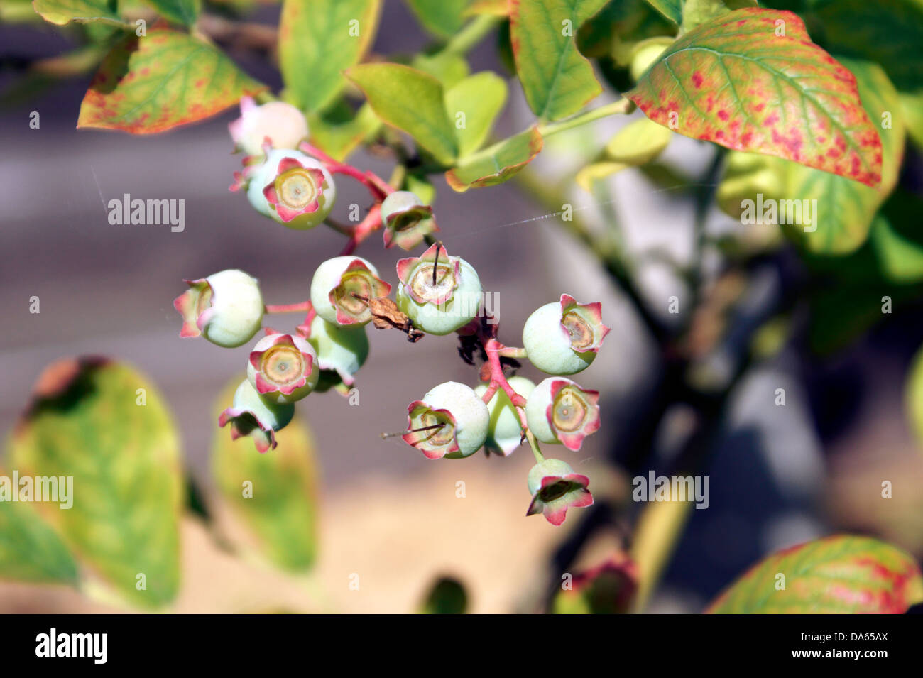 BLUEBERRIES - Stock Image
