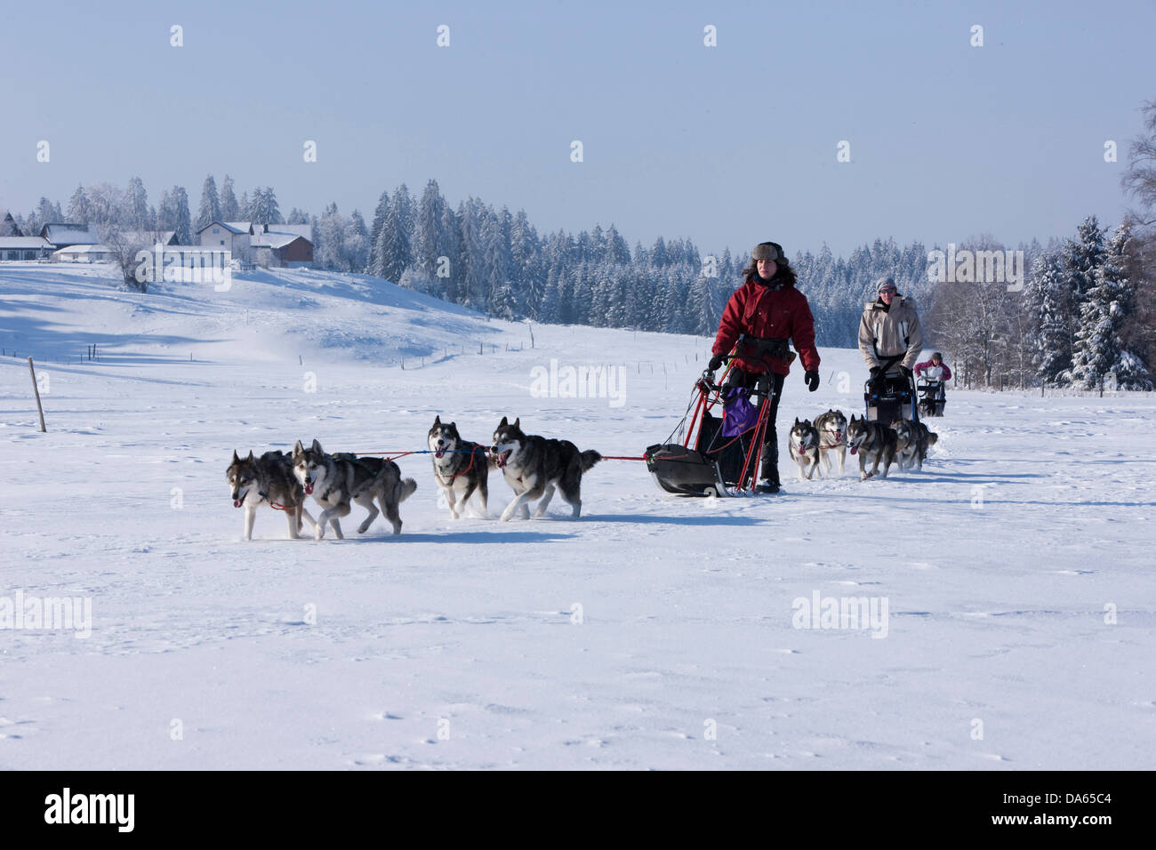 Sledge dogs, tour, Jura, winter, canton, JU, Jura, winter sports, animals, animal, dog, polar dog, sledge dog, Switzerland, - Stock Image